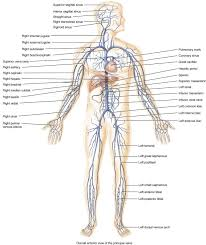 gallery human body vein anatomy human anatomy diagram
