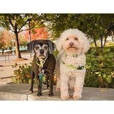 bichon frise dogs for adoption bichon frise for adoption