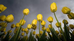 wallpaper bunga tulip yellow tulips with water drops wallpaper flower wallpapers 46727