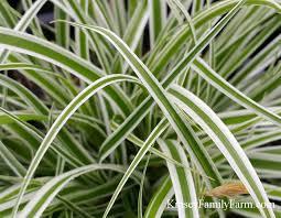 grasses ornamental grass for sale