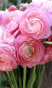 103 best ranunculus images on pinterest flowers ranunculus