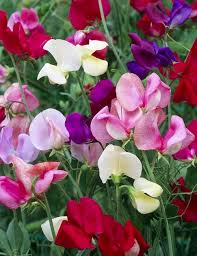 everlasting sweet pea sweet pea bonanza mixed pack of 30 seeds greenmylife anyone