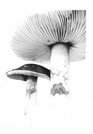 drawn mushroom pencil drawing pencil and in color drawn mushroom