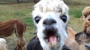 Alpaca Meme - alpacas trying to eat apples youtube