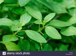 Sweet Flag Herb Medicinal Plant Herb Common Name Vicks Plant Peppermint Plant