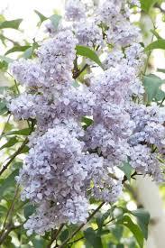 blue skies lilac monrovia blue skies lilac