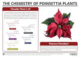 compound interest the chemistry of poinsettia plants