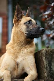 belgian sheepdog rescue florida best 25 belgian shepherd ideas only on pinterest belgian dog