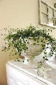 indoor vine plant 15 best indoor plants images on pinterest snuggles green plants