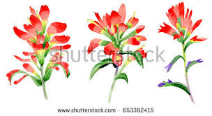 indian paintbrush flower wildflower indian paintbrush flower watercolor style stock