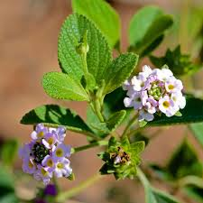 native florida plants low maintenance new backyard plant button sage u2013 benweb 3 2