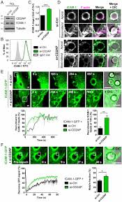endothelial cd2ap binds the receptor icam 1 to control