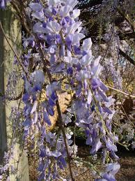 plant profile wisteria