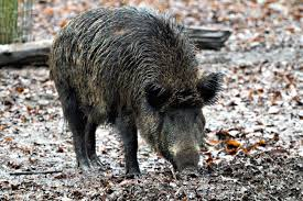 Arkansas Wild Animals images The story behind the real razorbacks only in arkansas jpg