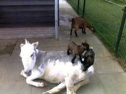 Funny Donkey Memes - goats playing the floor is lava on a donkey imgur