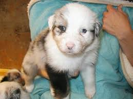 australian shepherd double merle need help evaluating aussie pup with half white face