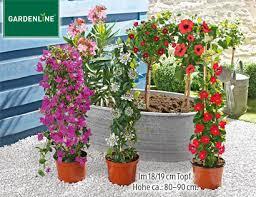 balkon und terrassenpflanzen aldi süd balkon und terrassenpflanze