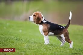 american eskimo dog jack russell mix boston terrier mix