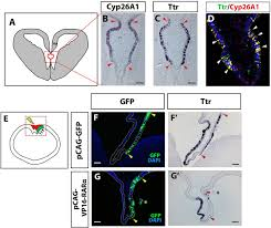 retinoic acid signaling regulates development of the dorsal
