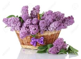 lilac flowers beautiful lilac flowers in basket isolated on white stock photo