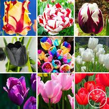 Online Shop Big Sale Wholesale Pcslot Tulip Seeds Flowers - Flowers home decoration