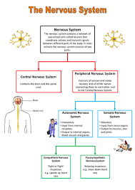 nervous system summary by jestill teaching resources tes
