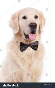 belgian shepherd golden retriever mix golden retriever dog bow tie stock photo 125612474 shutterstock