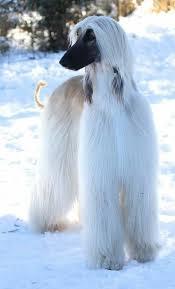 afghan hound breed best 25 afghan hound ideas on pinterest hound dog breeds
