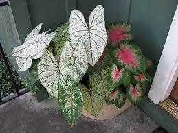 how to grow fancy leaf caladiums