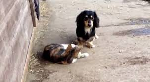 australian shepherd dachshund dachshund plays with his cat friend