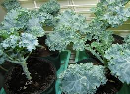 Indoor Fragrant Plants - 20 edible plants that are easy to grow indoors minq com