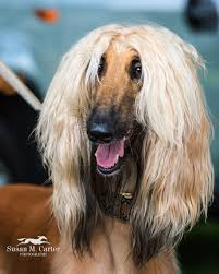afghan hound agility afghan hound match