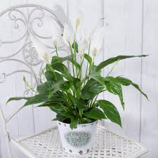 house plants by post send flowering house plants uk bunches co uk