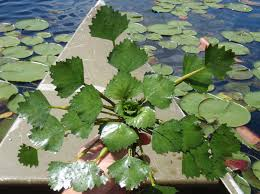 native water plants threats to wetlands around sodus bay save our sodus