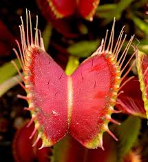 30 best native plant reference venus flytrap wikipedia