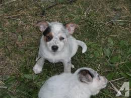 australian shepherd lab mix for sale adorable australian shepherd blue heeler mix puppies for sale in