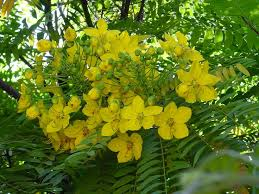 Yellow Flowering Trees - 71 best choice tropical and subtropical flowering trees images on