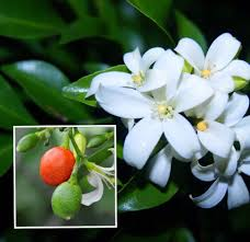 Fragrant Potted Plants - aliexpress com buy white jasmine seeds jasmine flower seeds
