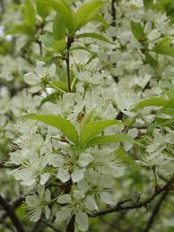american plum prunus americana significant ornamental edible