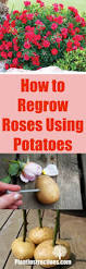 Vegetables You Can Regrow by How To Regrow Roses Using Potatoes Plant Instructions