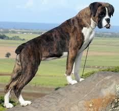 boxer dog with full tail pin di izabella palmer su about me pinterest boxer e boxer tigrato