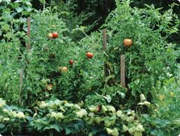 growing tomatoes in florida edible gardening miracle gro