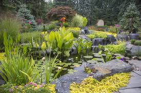 taro water aquatic plants for your pond rochester ny acorn
