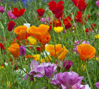 top 10 easy to grow flower plants and seeds for beginners