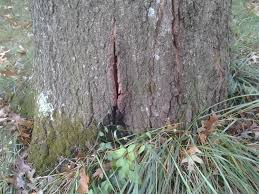 White Oak Tree Bark What Should We Do About The Bark Splitting Open At The Base Of Our
