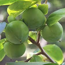 Online Fruit Trees For Sale - persimmon trees nurseries online australia