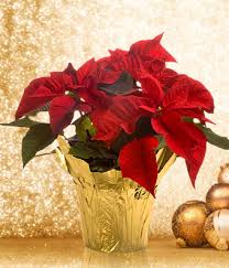 poinsettia at from you flowers