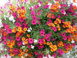 Flowering Shrubs That Like Full Sun - 5 must have hanging basket annuals hunniford gardens