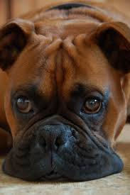 boxer dog quebec 18 best boxers rock images on pinterest animals boxers and