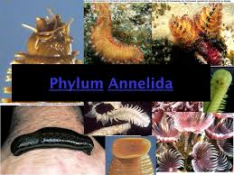 11 best annelida phylum images on pinterest worms biology and